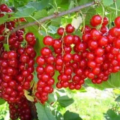 Смородина красная (Ribes rubrum Ненаглядная) зкс