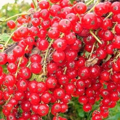 Смородина красная (Ribes rubrum Сахарная BR) ОКС