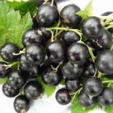 Смородина черная (Ribes nigrum Черный жемчуг BR) ОКС