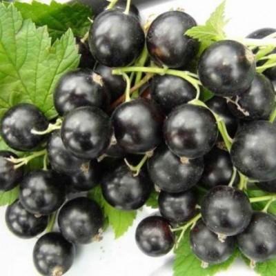 Смородина черная Черный жемчуг ЗКС