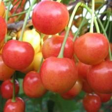 Черешня / Вишня птичья (Prunus Брянская розовая) C6