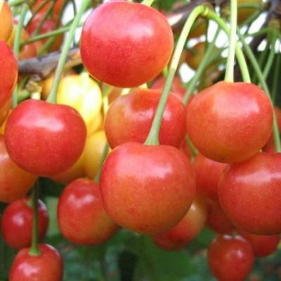 Черешня / Вишня птичья (Prunus Брянская розовая BR) C6