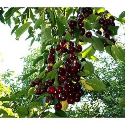 Черешня / Вишня птичья (Prunus Ленинградская черная) C6
