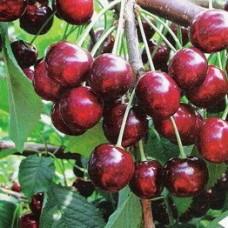 Черешня / Вишня птичья (Prunus Ревна BR) C6