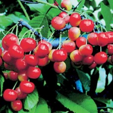Черешня / Вишня птичья (Prunus Фатеж BR) C6