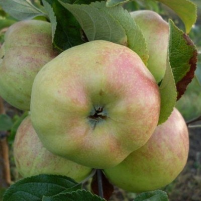 Яблоня Богатырь 2-х летнее ЗКС