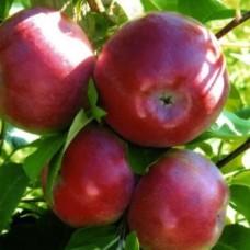 Яблоня (Malus Лобо) C6