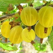 Крыжовник (Ribes Коршудин BR) C2