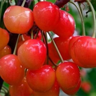 Черешня / Вишня птичья (Prunus Юлия BR) C6