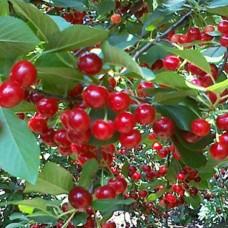 Вишня (Prunus Прима BR) C6