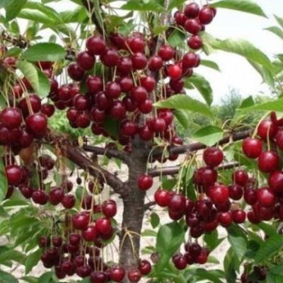 Вишня (Prunus Тургеневская BR) C6