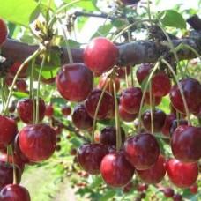 Вишня (Prunus Гриот Московский BR) C6