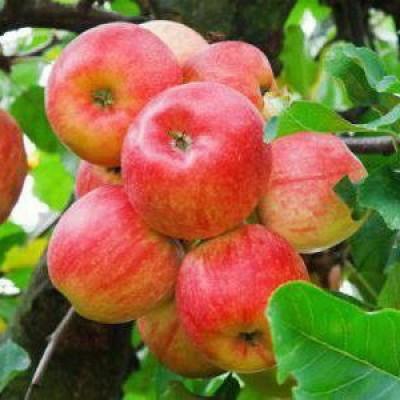 Яблоня (Malus Яблочный спас) C6