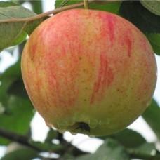 Яблоня (Malus Орлинка) C6