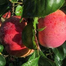 Яблоня (Malus Свежесть BR) C6