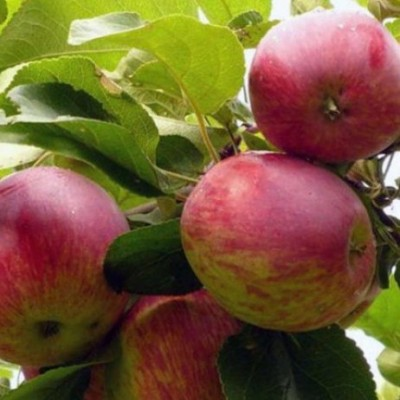 Яблоня (Malus Орловское полосатое) C6