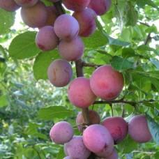 Слива (Prunus Деликатесная BR) C6