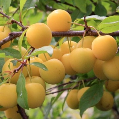 Слива (Prunus Ренклод колхозный) C6