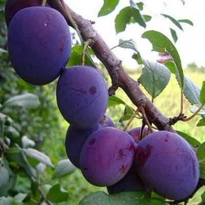 Слива (Prunus Евразия BR) C6