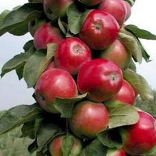 Яблоня колонновидная (Malus kolonnovidnaya Валюта) C6