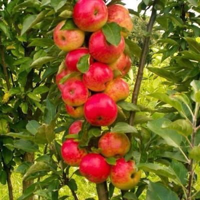 Яблоня колонновидная (Malus kolonnovidnaya Арбат BR) C6