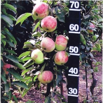 Яблоня колонновидная (Malus kolonnovidnaya Васюган BR) C6