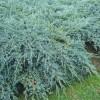Можжевельник чешуйчатый Блю Карпет C5 H40-50 см