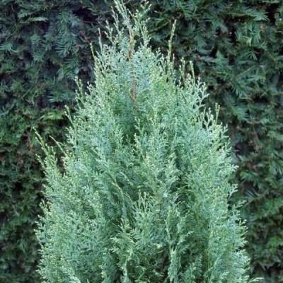 Кипарисовик лавсона White Spot C1 H30-35 см