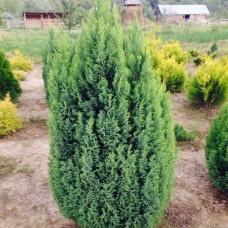 Кипарисовик лавсона Elwoodii C1 H25-30 см