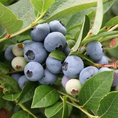 Голубика садовая Brygitta C2 H30-40 см