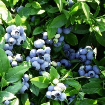Голубика садовая Патриот C3 H30-40 см
