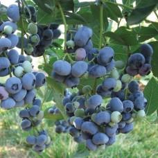Голубика садовая Bluegold C2 H25-35 см