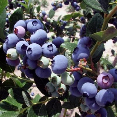 Голубика садовая Elisabeth C3 H20-30 см