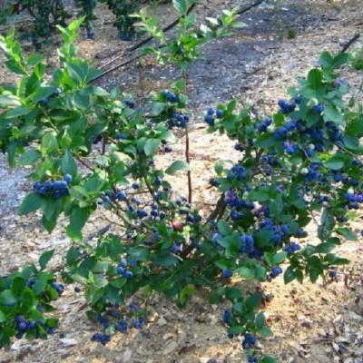 Голубика садовая Блюкроп C4 H40-60 см