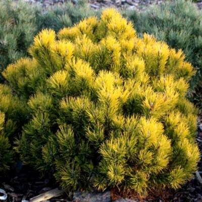 Сосна горная Десембер Голд C5 Н30-40 см