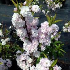 Дейция гибридная Pink Pom-Pom (Rosea Plena) C2,5 H40-50 см