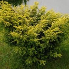 Тис ягодный Elegantissima C2 H20-30 см