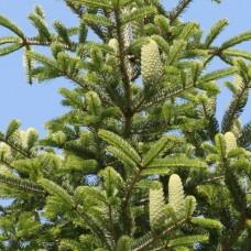 Пихта белая (Abies alba) C2 H30-40 см