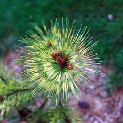 Сосна густоцветковая Окулус-драконис C5