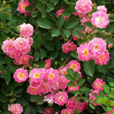 Роза на штамбе мультифлора C4/C5 HPA 80-100 см