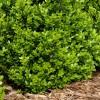 Самшит вечнозеленый Р9