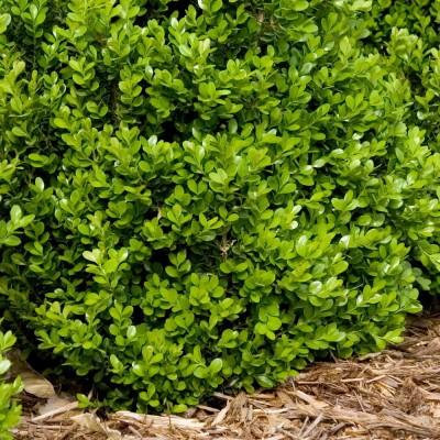 Самшит вечнозеленый P9