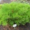 Сосна густоцветковая Лоу Глоу C5 H30-35 см