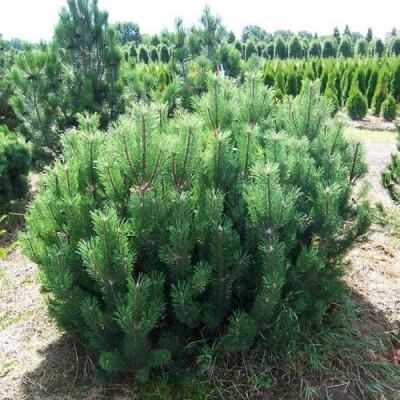 Сосна горная Мугус C5 H30-40 см
