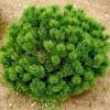 Сосна горная Мопс C7,5 H30-35 см