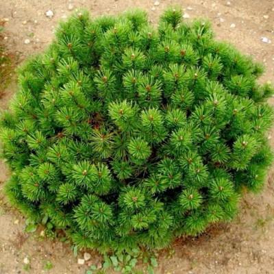 Сосна горная Мопс C10 H40-50 см
