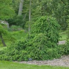 Ель обыкновенная Frohburg C7,5 H80-100 см