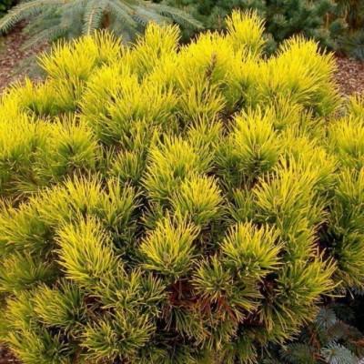 Сосна горная Carsten C5 H30-35 см