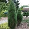 Сосна черная Грин Тауэр C7,5 H40-50 см
