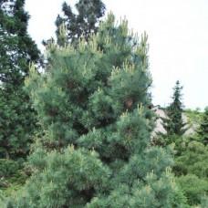 Сосна веймутова Radiata C7,5 H30-40 см